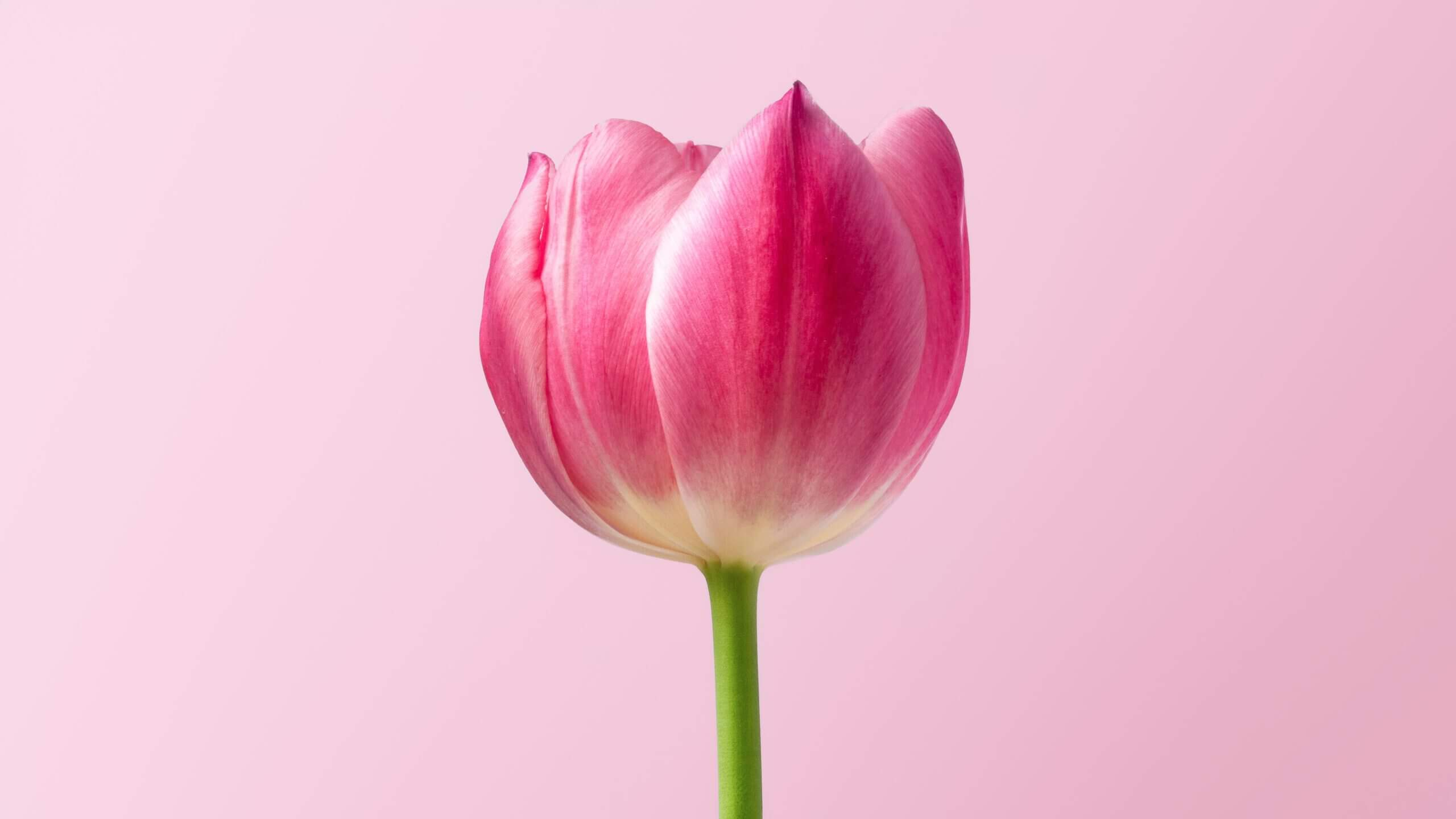 Roze tulp op roze achtergrond.